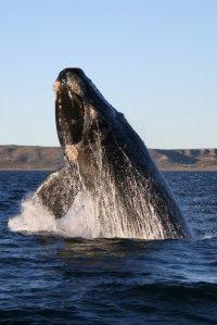 salto da baleia